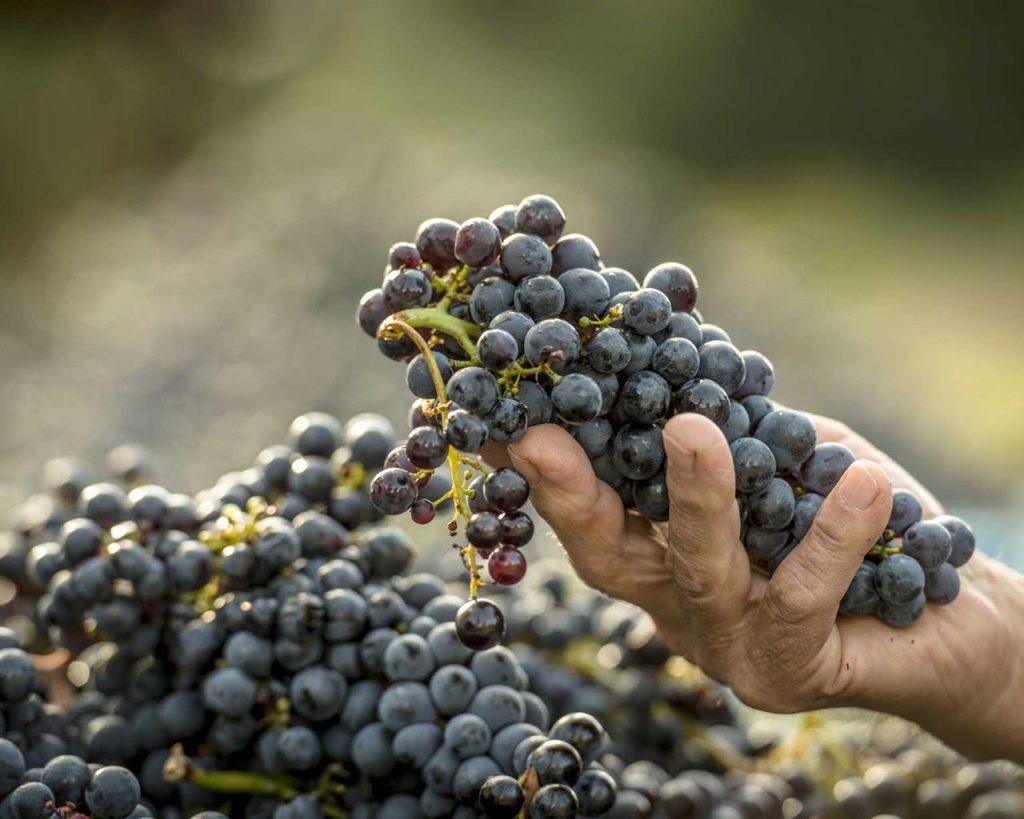 Grappolo d'uva - Azienda agricola Le Magnolie