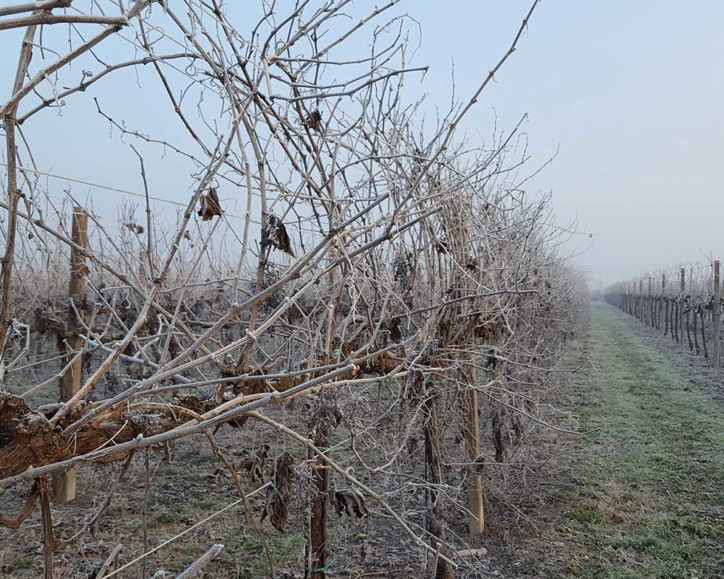 Vigneto d'inverno - Azienda agricola Le Magnolie