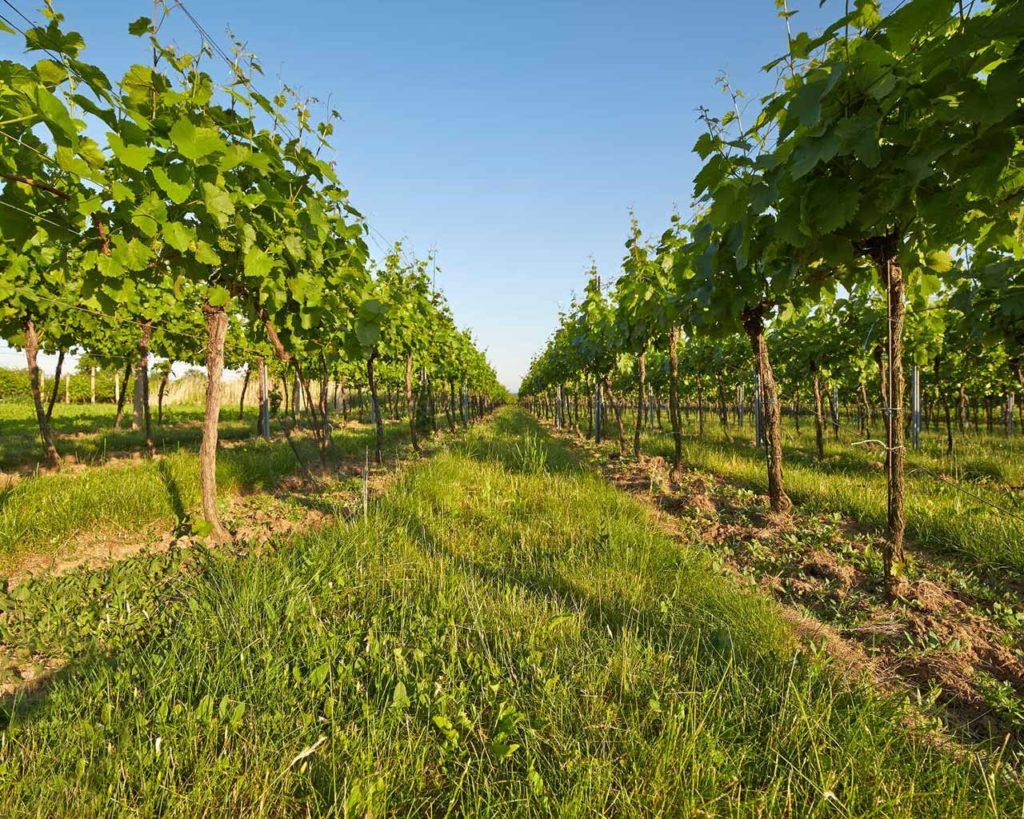 Vigneto - Azienda agricola Le Magnolie